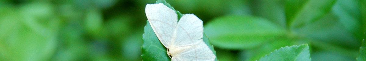 White moth on a green leaf.